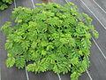 Desmanthus leptophyllus cultivar Progardes JCU 1 4627.JPG