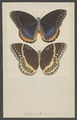 Diadema - Print - Iconographia Zoologica - Special Collections University of Amsterdam - UBAINV0274 003 01 0068.tif