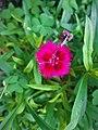 Dianthus barbatus (1).jpg