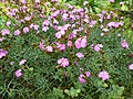 Dianthus graniticus01.jpg
