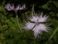 Dianthus monspessulanus06.jpg