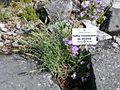 Dianthus monspessulanus 619.JPG