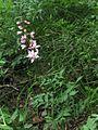 Dictamnus albus PID2055-3.jpg
