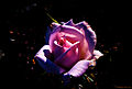 Die Rose Sonia Meilland, ein Teehybride mit bis zu 30 Blütenblätter im Rosarium des Münchner Westparks-1 (11030997163).jpg