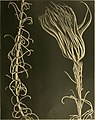 Die gestielten crinoiden der Siboga-expedition (1907) (20916334922).jpg