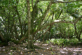 Diego Garcia Hernandia Forest.png
