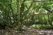 Diego Garcia Hernandia Forest