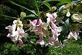 Dipelta floribunda - Arnold Arboretum - DSC06811.JPG