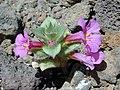 Diplacus bigelovii (A. Gray) A. Gray var. cuspidatus A. L. Grant 20000508 01.jpg