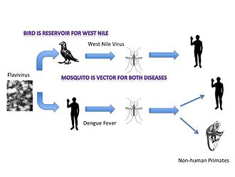 Vector (epidemiology) - Figure 1. This figure shows how the Flavivirus is carried by mosquitos in the West Nile Virus and Dengue fever. The mosquito would be considered a disease vector.