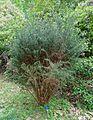 Diselma archeri - Hillier Gardens - Romsey, Hampshire, England - DSC04807.jpg