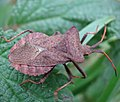 Dock Bug, Coreus marginatus (22281433546).jpg