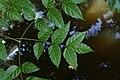 Dolichandrone spathacea 9357.jpg