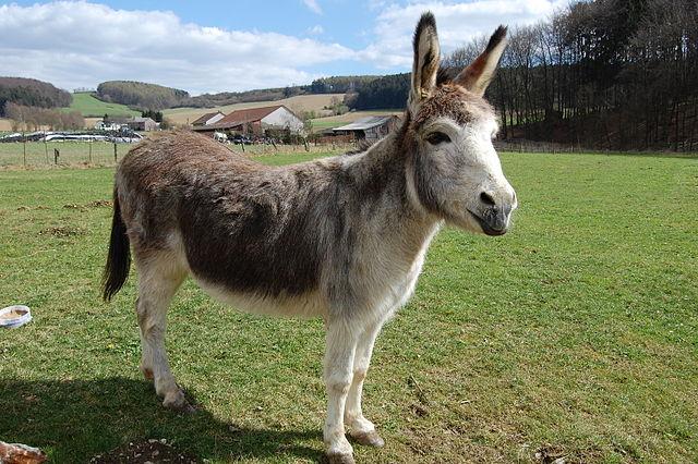 МАГАРИЊА 640px-Donkey_%28Equus_asinus%29._Apr_8_2012%2C_Germany