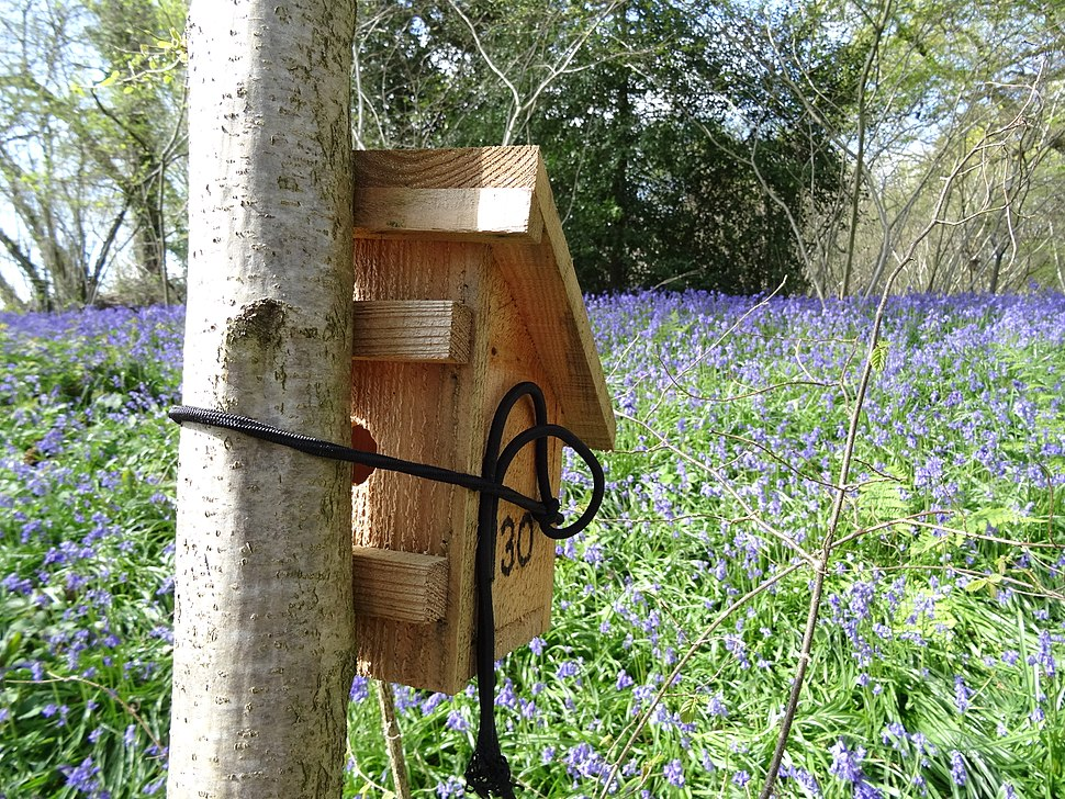 Dormouse box with bluebells at Briddlesford Nature Reserve