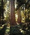 Douglas-Fir trees at Macmillan Provincial Park, BC Canada.jpg