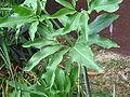 Dracunculus vulgaris leaves.jpg