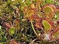 Drosera rotundifolia Rosiczka okrągłolistna 2010-05-29 02.jpg