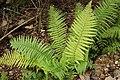 Dryopteris affinis. Felecha.jpg
