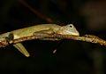 Dusky Earless Agama (Aphaniotis fusca) (8688678530).jpg