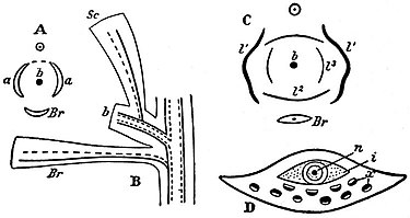 EB1911 Gymnosperms - four diagrams.jpg