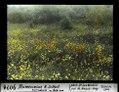 ETH-BIB-Blumenwiese N. Settat, Calendula und Echium-Dia 247-09078.tif