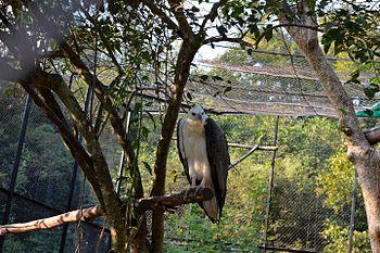 Eagle (india).jpg
