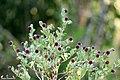 East Indian Globe Thistle, Indian sphaeranthus (Sphaeranthus indicus) അടയ്ക്കാമണിയൻ. (28257062519).jpg