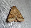 Eastern Bordered Straw^ Heliothis nubigera. - Flickr - gailhampshire.jpg
