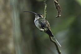 Eastern Long-tailed Hermit - Rio Tigre - Costa Rica MG 8436 (26084791724).jpg