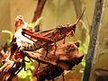 Eastern Lubber Grasshopper 01.jpg