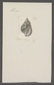Eburna spec. - - Print - Iconographia Zoologica - Special Collections University of Amsterdam - UBAINV0274 074 01 0006.tif