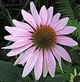 Echinacea sp. (coneflower) (Heath, Ohio, USA) 1 (19385444224).jpg