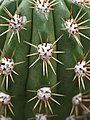 Echinopsis candicans (3).jpg