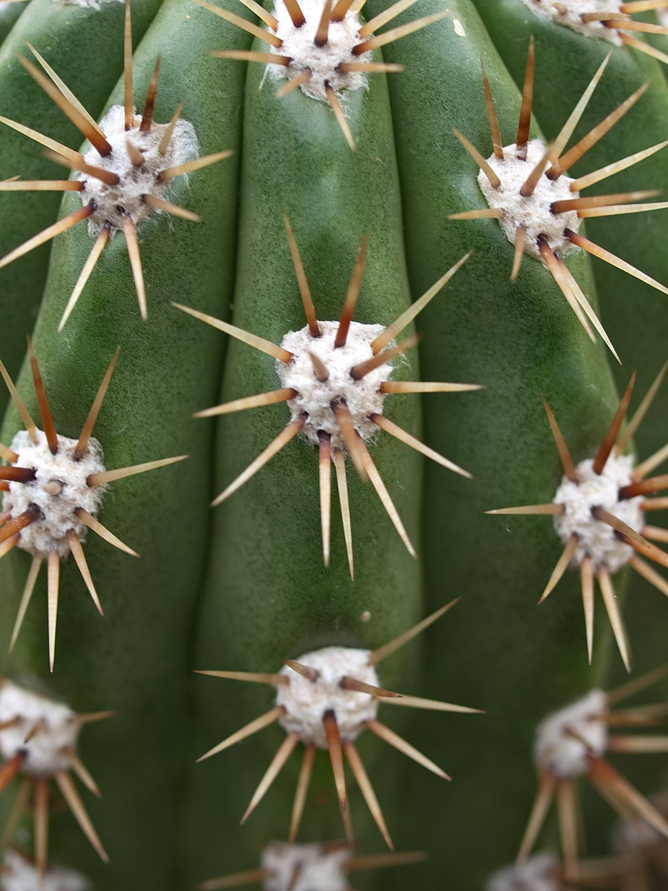 Echinopsis candicans (3)