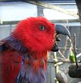 Eclectus roratus -The Parrot Zoo, Friskney, Lincolnshire, England -female-8a.jpg