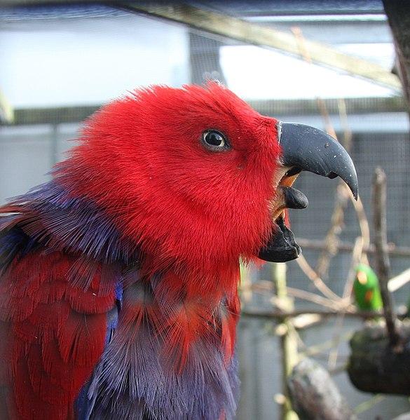Kaito Takumi 3.0  585px-Eclectus_roratus_-The_Parrot_Zoo%2C_Friskney%2C_Lincolnshire%2C_England_-female-8a