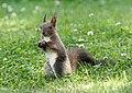 Eichhörnchen in Sachsen 2H1A7665WI.jpg