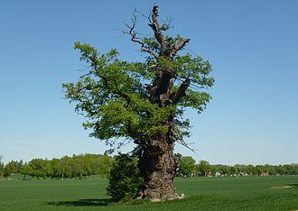 Ekeby oak tree - Ekeby oak tree in May 2012