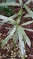 Elaeocarpus dentatus juvenile foliage.jpg