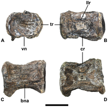 A gray vertebra seen from four angles