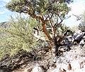 Elephant Tree (Bursera microphylla) (25694210322).jpg