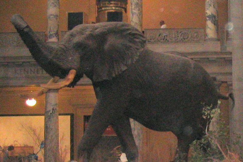 http://upload.wikimedia.org/wikipedia/commons/thumb/e/ec/Elephas_recki_left.jpg/800px-Elephas_recki_left.jpg
