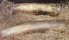 La science des éléphants  dans ELEPHANT 220px-Elfenbein-Natur