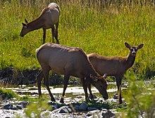 Elk 2 (8005275573).jpg