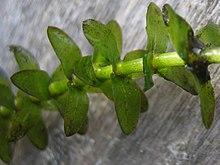 Elodea canadensis.jpeg  Elodea - Chi Elodea 220px Elodea canadensis