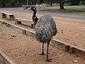 Emu, Bibbulmun Track, Western Australia 08 (15).jpg