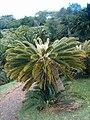 Encephalartos friderici-guilielmi KirstenboshBotGard09292010G.JPG