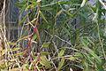 Epidendrum radicans GotBot 2015 003.JPG
