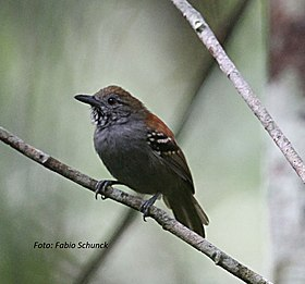Epinecrophyla dentei - Roosevelt stipple-throated antwren.jpg